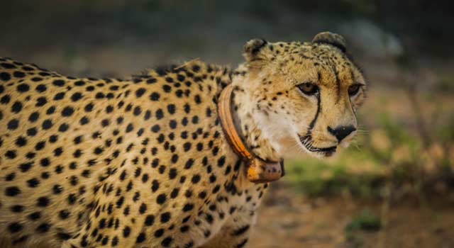 Top 10 Interesting Facts About Cheetahs