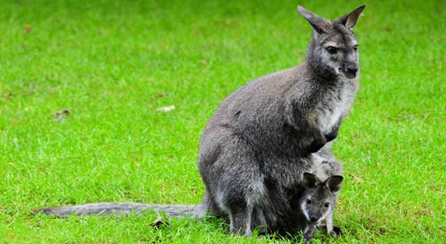 Top 10 Interesting Kangaroo Facts
