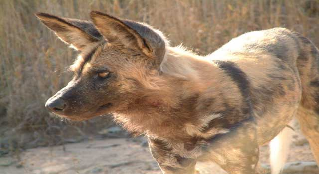 Where Do African Wild Dogs Live
