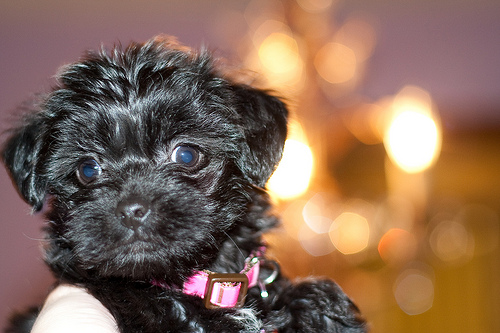 How Much Does A Yorkie Poo Cost