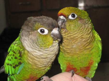 How Much Does A Green Cheek Conure Cost