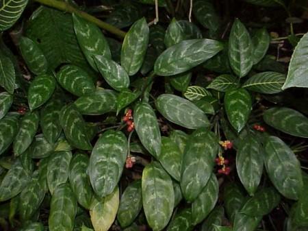 Aglaonema Chinese evergreens