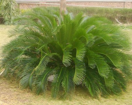 Sago palm, Cycas_ spp