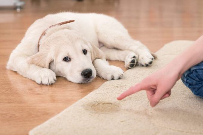 A Golden Retriever Puppy Laying Next To Urine Stain On Carpet Rug Looks Forlorn