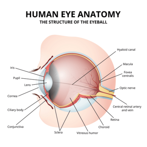 A diagram of the anatomy of the human eye showing the fovea.
