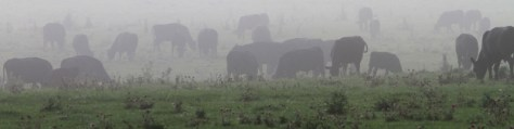 cows in pasture fog 2