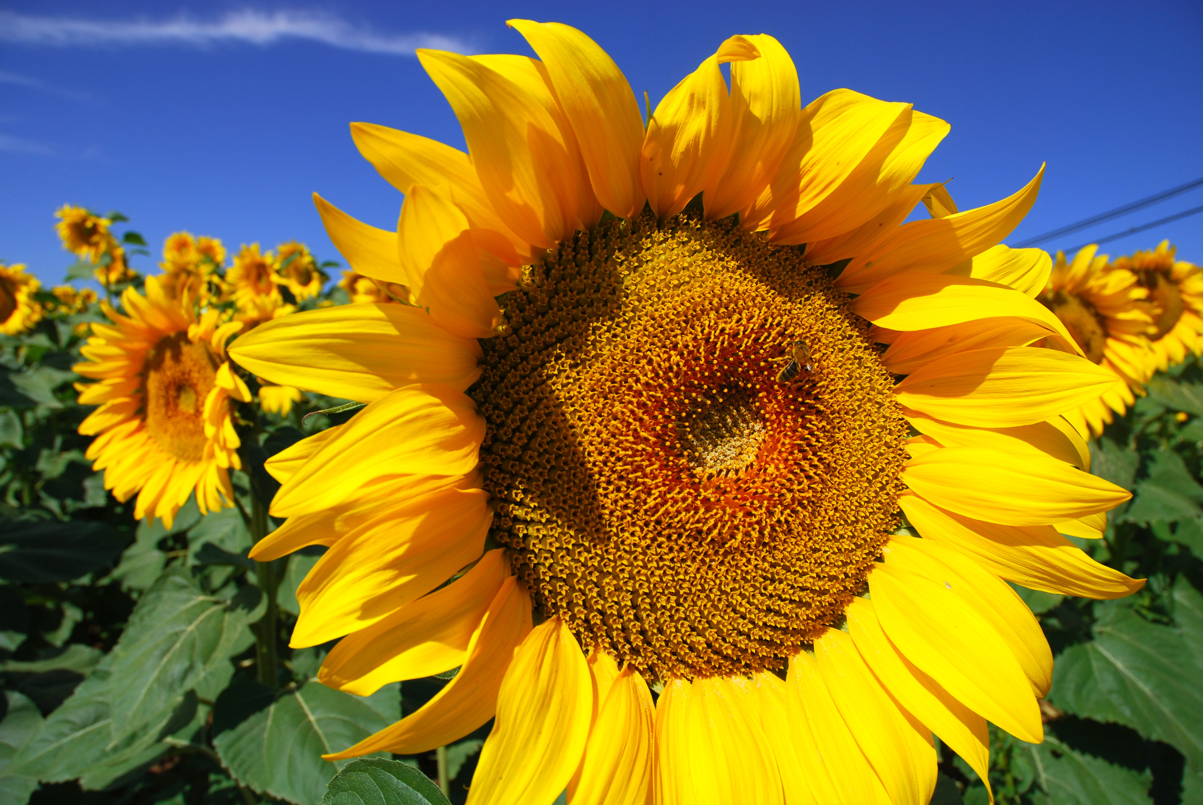 Images About Sunflowers