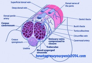 corpora spongiosum structure