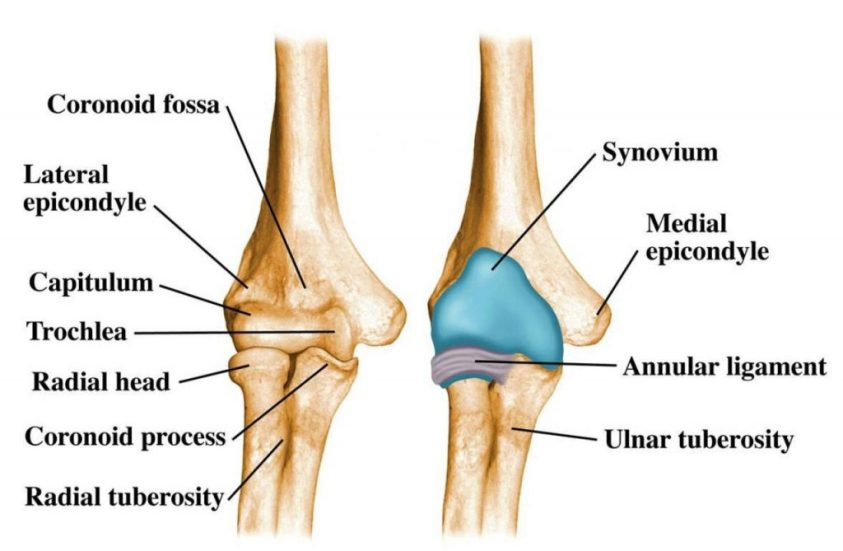 Elbow Joint: Anatomy, Movement & Muscle involvement » How ...