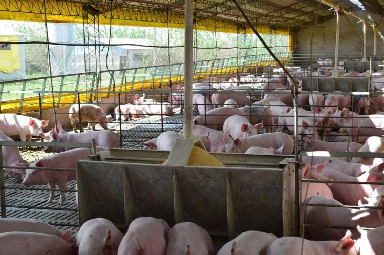 Recomendaciones a la hora de consumir carne de cerdo