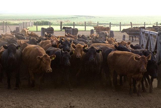 Más de 52 millones de bovinos vacunados contra la aftosa en la primera campaña
