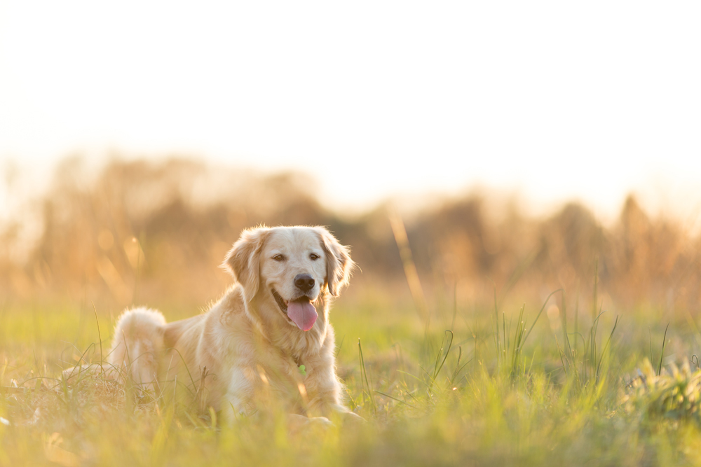 golden retriever laying in field