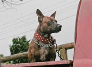 spike collar dog