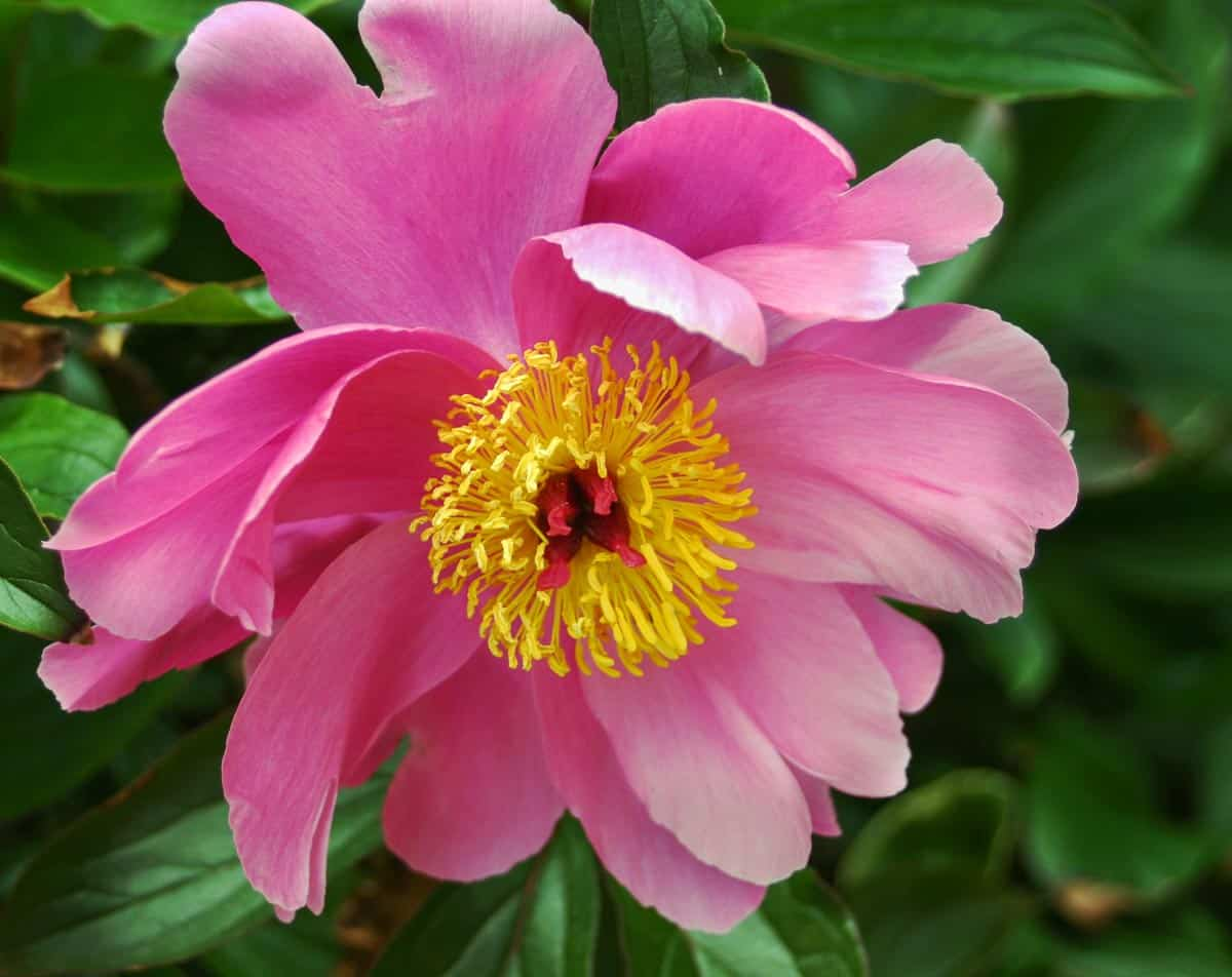 Close Up of Pink Flower Photo