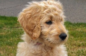 Goldendoodle Puppy Sitting Photo Print