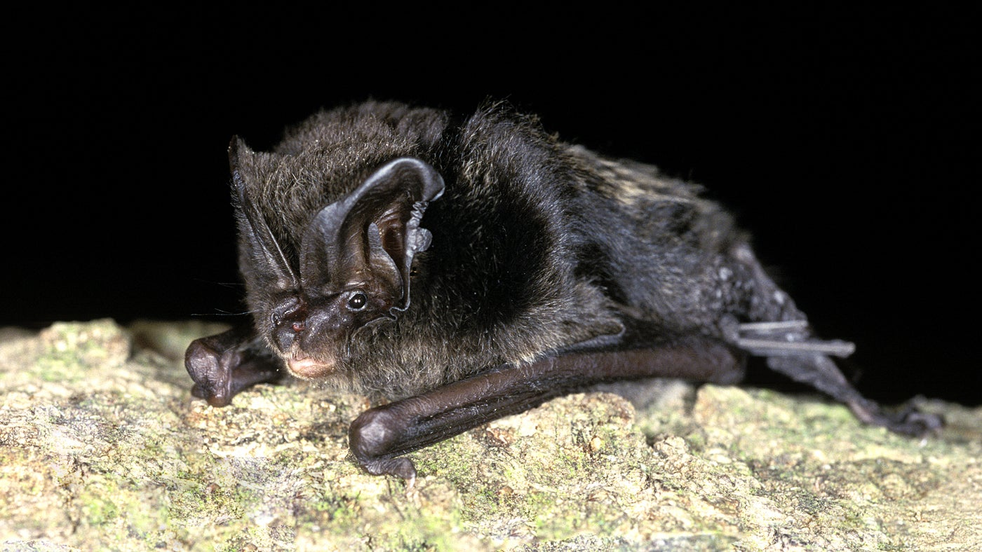 HS2 threatens one of the rarest bats in Britain without licences