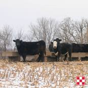 Cattle Winter Forage Options
