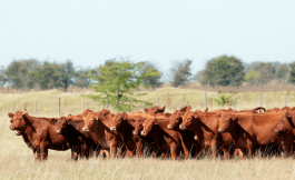 cattle mineral options