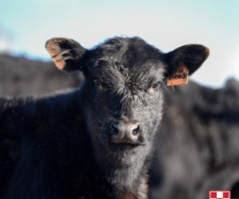 young calf headshot looking into the camera