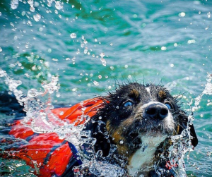 Granby Splash Life Jackets Now Available ad features cute dog swimming with a reddish-orange coloredlife vest on.