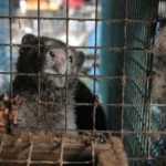 Mink on a fur farm