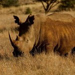 Southern White Rhinoceros in the wild