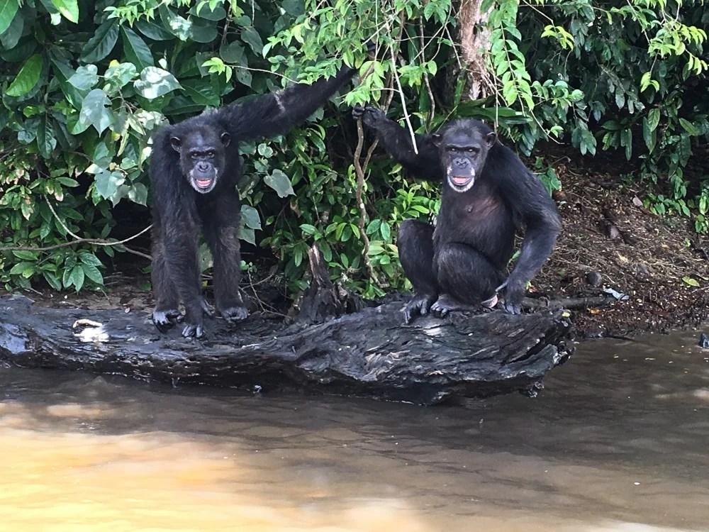 Chimps in a sanctuary in Liberia