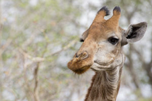 Cites Protects Giraffe For The First Time Humane Society International