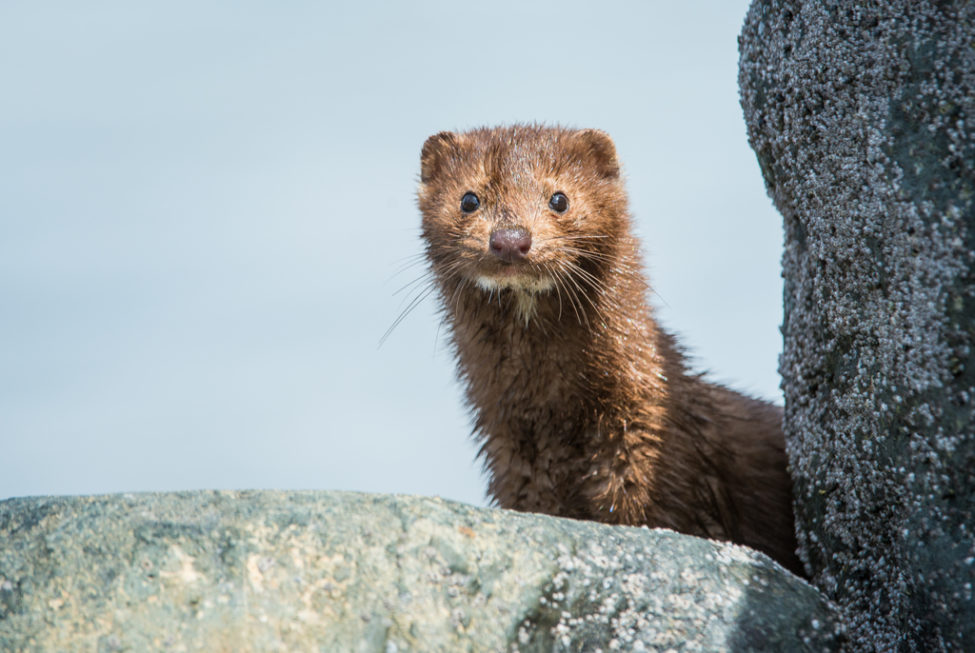 Breaking Dutch Parliament Votes For Closure Of Dutch Mink Farms To Prevent Further Covid 19 Infections Humane Society International