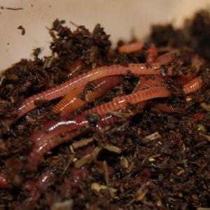 live worms underground