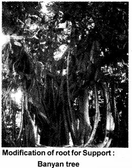 Plus One Botany Notes Chapter 3 Morphology of Flowering Plants 4