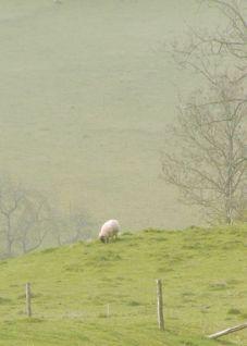 lone sheep-2