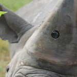 Cameras in rhino horns could deter poachers