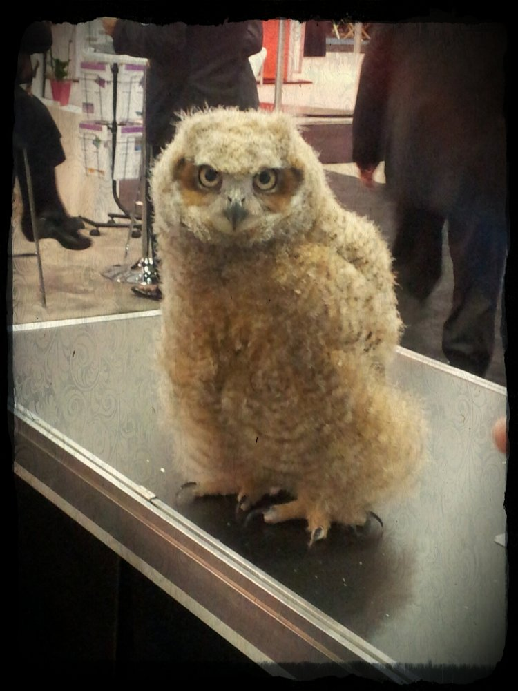 picture of baby great horned owl