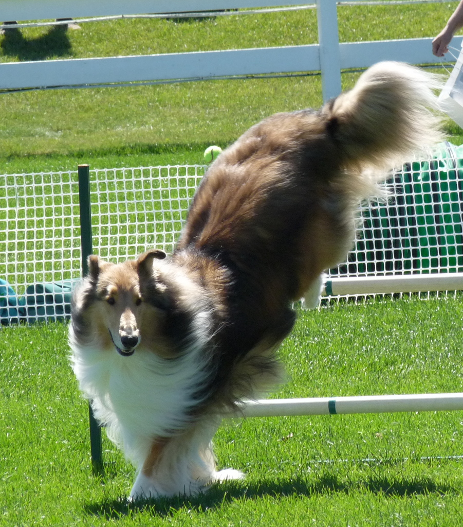 picture of a collie jumping over a fence