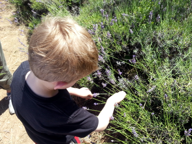 Brock goes crazy picking Lavender