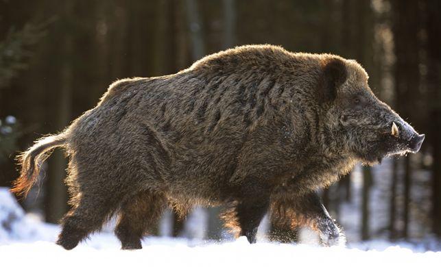 https://i2.wp.com/www.hubertushuntingtours.com/images/wild_boar_2.jpg?w=736