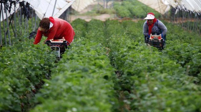 Dos temporeras en una explotación agrícola de la provincia.