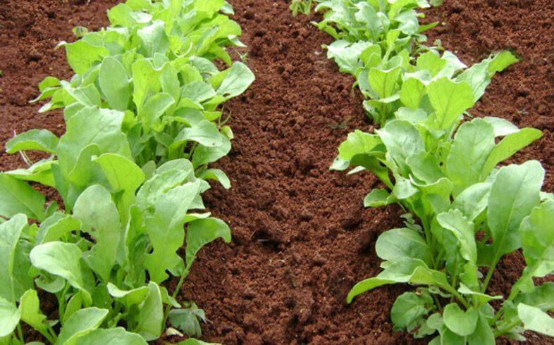 Cultivo de rucula en suelo