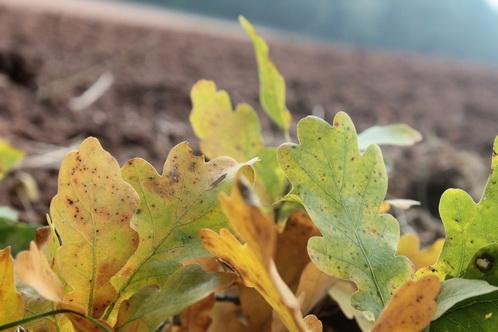 Eichenblätter im Herbst 5967