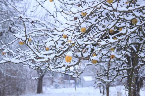 Goldene Früchte  im Schnee 9859