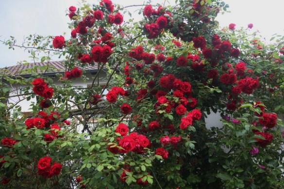 Rote Klettertrose neben der Garage in voller Blüte