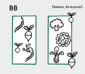 Beans and brassicas: turnips, radishes, broccoli, cabbage, chinese veg