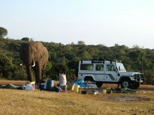 Wild Elephant Eating Fruit from the Camp Supplies