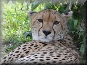 Safari 2013 - Cheetah