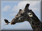 Safari 2013 - Twiga