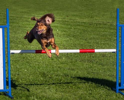 Image result for hondenwedstrijd