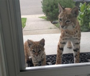 wilde katten
