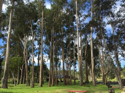 Eucalyptus-grove-remains-intact-at-pavilion