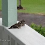 ハワイ島フォト日記 小鳩の家族は可愛いよね